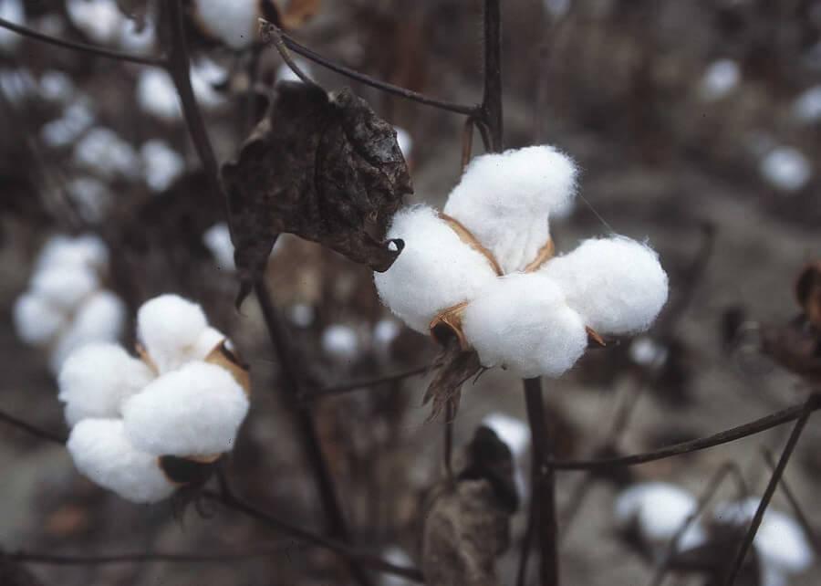 The Cotton Plant Egyptian Cotton