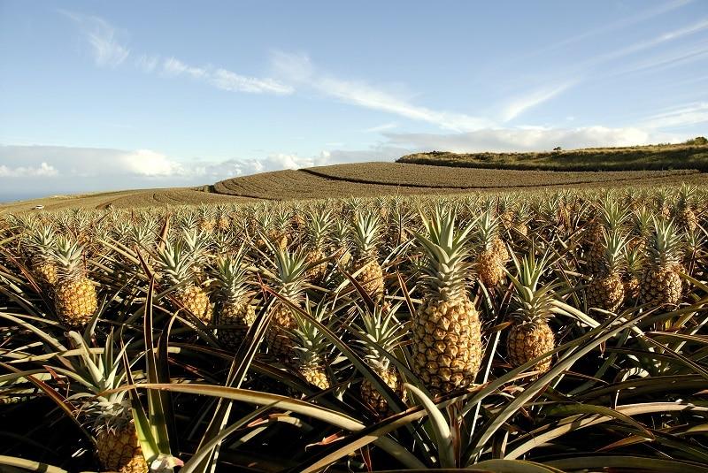 Pineapple Field in Maui